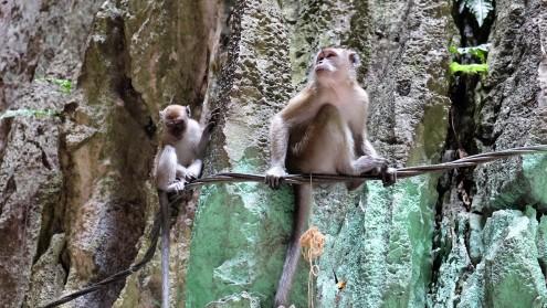 monkeys-at-the-batu-caves